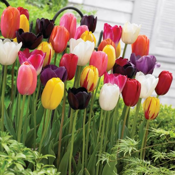 Ever tulips